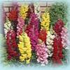 Antirrhinum Floral Showers Mix ลิ้นมังกร ฟลอรอล ชาวเวอร์ มิกซ์ / 50 เมล็ด