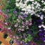 Lobelia Regatta Mix โลบีเลีย รีกัตต้า มิกซ์ / 20 เมล็ด thumbnail 1