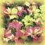 ดอกพิทูเนีย โซฟิสติก้า ไลม์ ไบคัลเลอร์ Petunia Sophistica Lime Bicolour/ 15 เมล็ด thumbnail 2