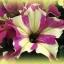 ดอกพิทูเนีย โซฟิสติก้า ไลม์ ไบคัลเลอร์ Petunia Sophistica Lime Bicolour/ 15 เมล็ด thumbnail 1