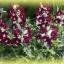 ดอกลิ้นมังกร Antirrhinum Bells Purple and White / 50 เมล็ด thumbnail 3