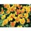 Viola Baby Face Orange ไวโอล่า เบบี้ เฟซ ออเรนจ์ / 20 เมล็ด thumbnail 1