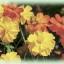 ดอกดาวกระจาย ไบรท์ ไลท์ / 30 เมล็ด thumbnail 1