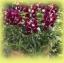 ดอกลิ้นมังกร Antirrhinum Bells Purple and White / 50 เมล็ด thumbnail 1